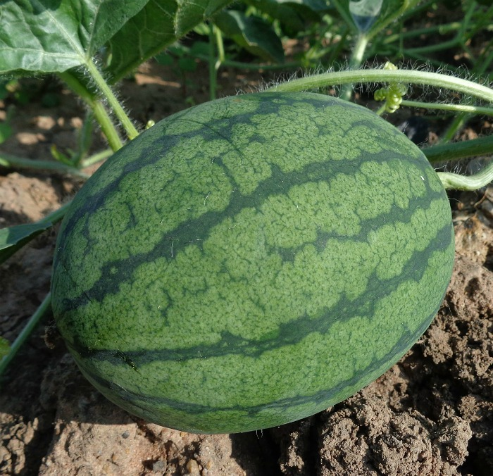 There is contrast between the stripes with a ripe watermelon