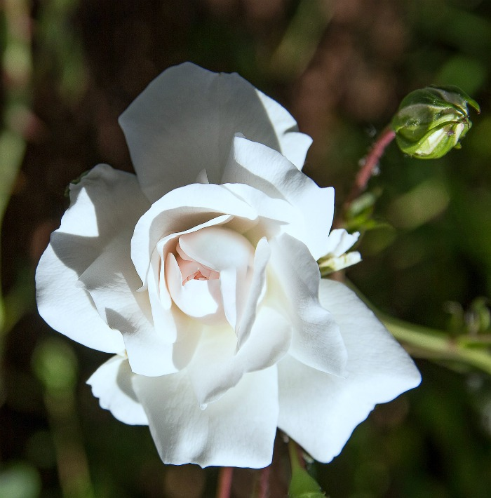 White roses signify innocence, purity and virginity and are often used at weddings