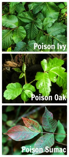 These are the three poisonous vines common to homes in our area. See how to