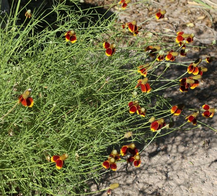 Sombrero cornflower plantings
