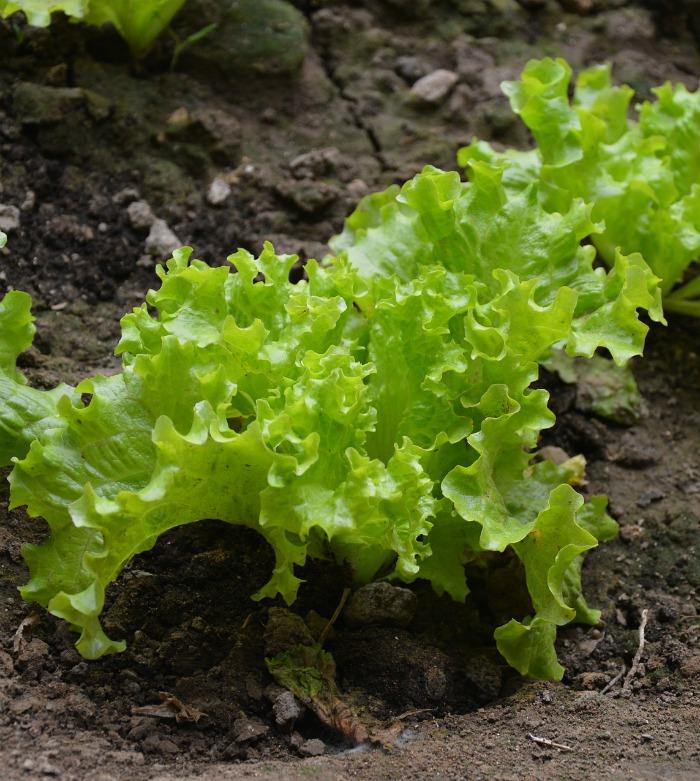 Lettuce plant growing in a garden