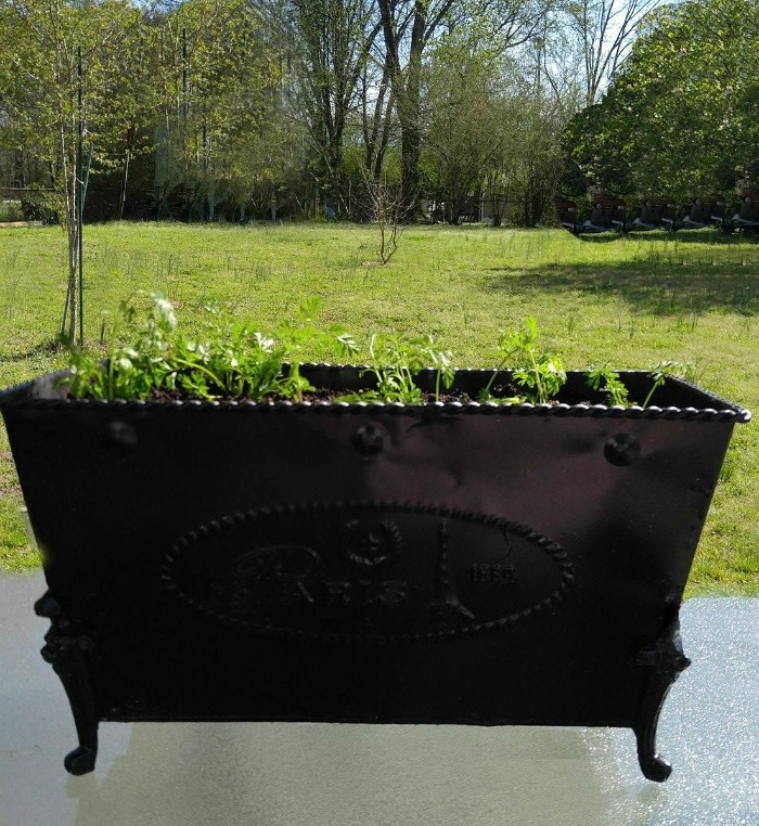 Carrot greens growing in a black planter