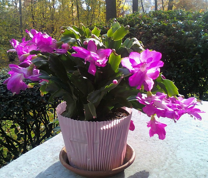 Keep a Christmas cactus outdoors in the summer months