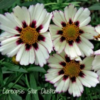 Coreopsis Star Cluster