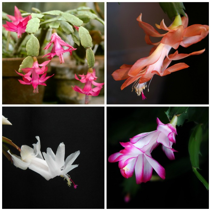 Christmas Cactus - How to Get it to flower Each Year