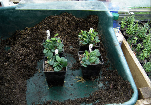 Seedlings hardening off