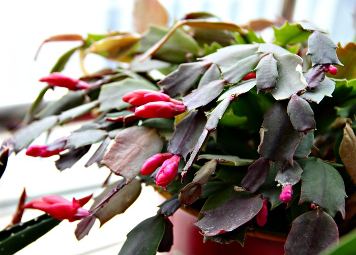 stems of Christmas cactus