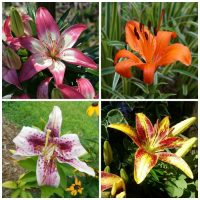 Asiatics vs Oriental lilies
