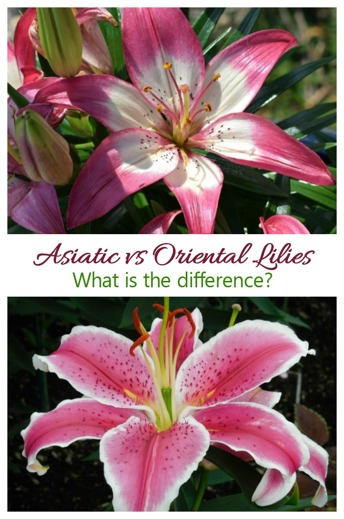 Asiatic and Oriental Lilies look similar but actually have quite a few difffernces