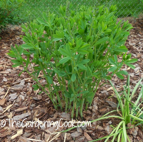 Baptista is an easy plant to grow from divisions
