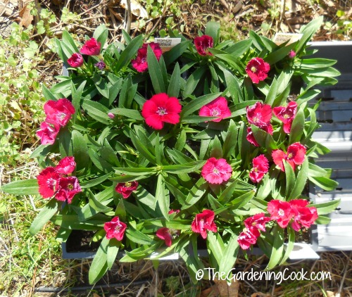 dianthus seedlings