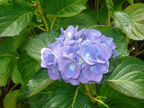Hydrangeas are a great plant to take from soft wood cuttings