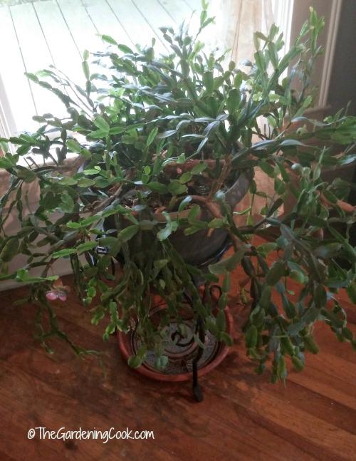3 generation Christmas Cactus.