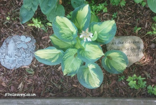 Hosta garden with stepping stones.