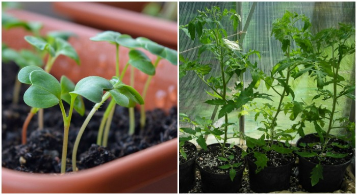 Seeds or established plants both work for deck gardens