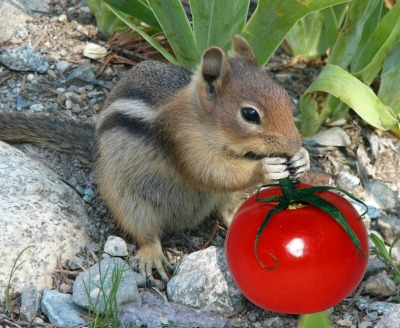 squirrels love tomatoes
