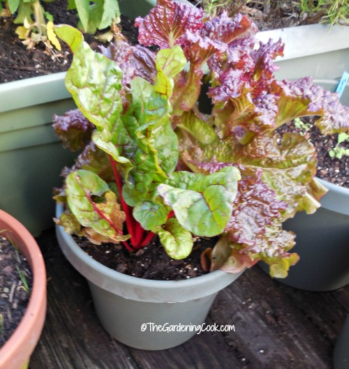 swiss chard and leaf lettuce