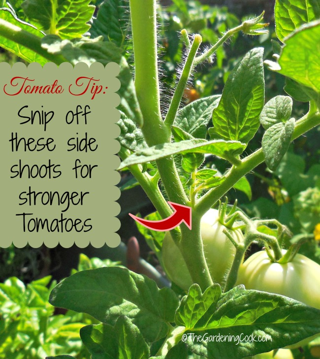 Tomato Tip: Be sure to snip off these side shoots for stronger tomato plants. See more tips for growing tomatoes at https://thegardeningcook.com/tips-growing-great-tomatoes/
