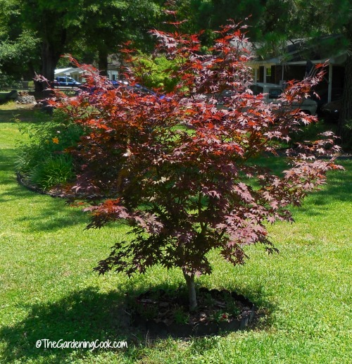 To creaate curb appeal, add a pretty tree. This Japanese maple tree adds great color.