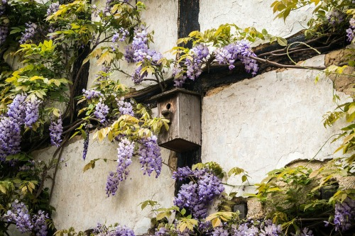 You can be fairly aggressive when pruning vines such as wisteria