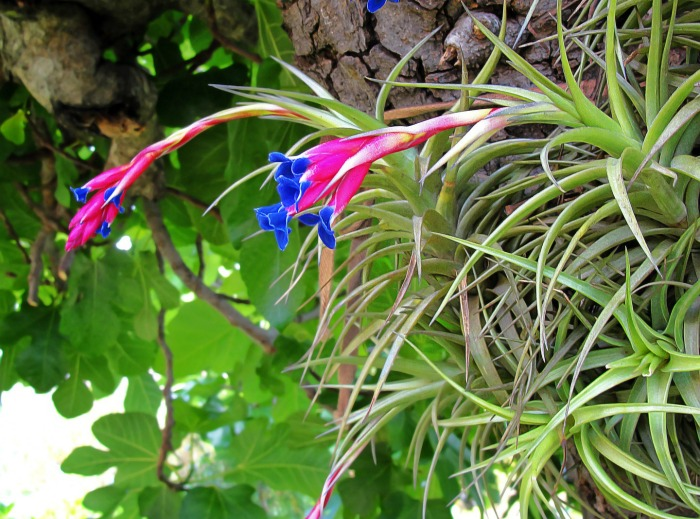 Tillandsia will only bloom once in a lifetime
