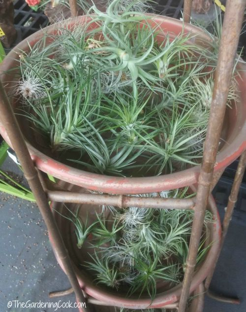Air plants in a basket