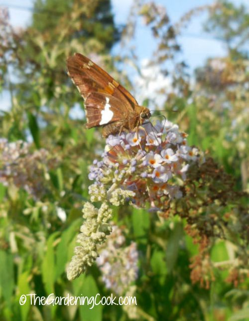 Butterfly bushes attract butterflies in droves