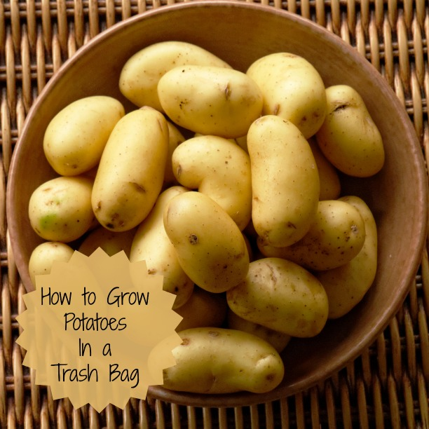 Save space by growing potatoes in a trash bag