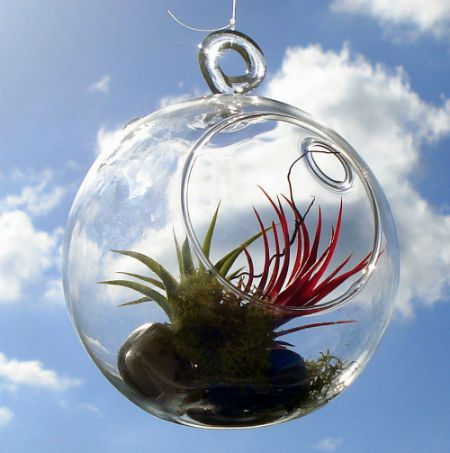 Display air plants in a terrarium