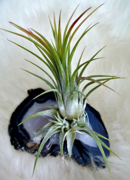 Place air plants on granite for artistic displays