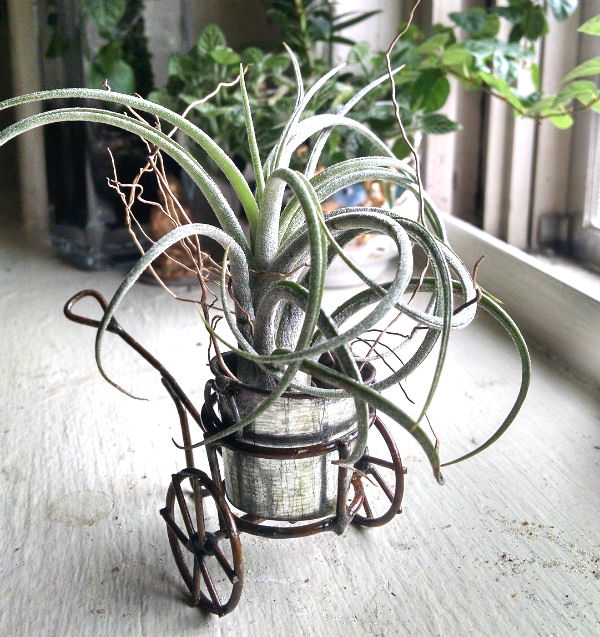 Large air plant