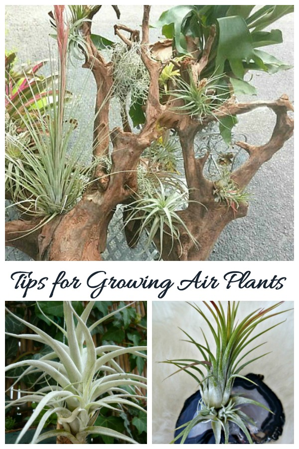Tips for growing air plants and how to display them creatively