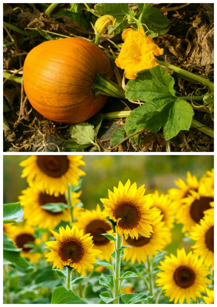 Sunflowers and pumpkin in a field.
