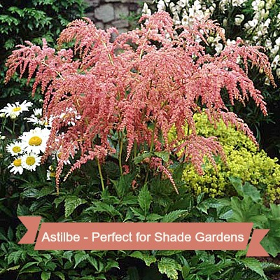 Astilbe is a gorgeous flowering plant that thrives in the shade. Find out how to grow it on thegardeningcook.com