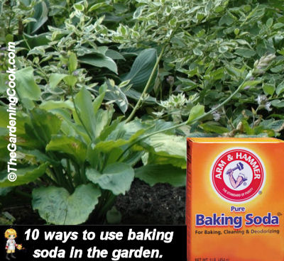 Baking soda can be used in so many ways in the garden. See how at thegardeningcook.com