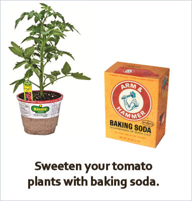 For super sweet tomatoes, try adding baking soda near the plant