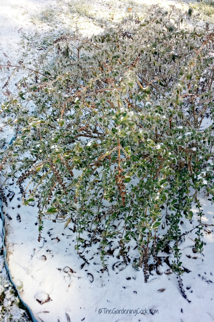 Butterfly bush in the snow in North Carolina