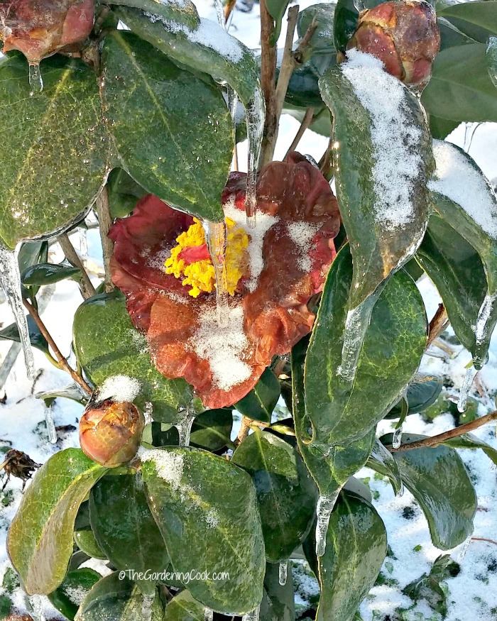 close up of iced Camellia leaves and flower