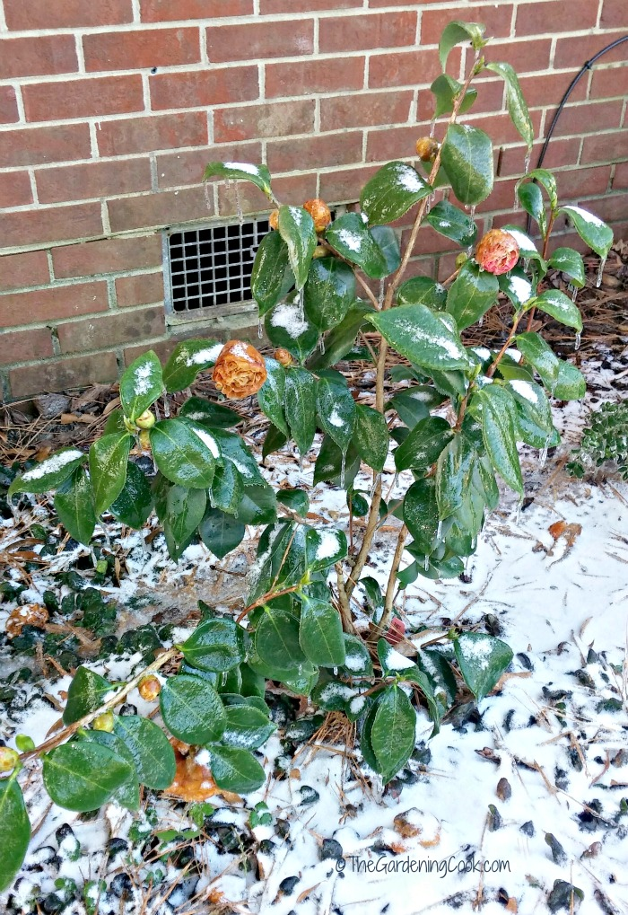 Pink Camellia in the winter in N.C.