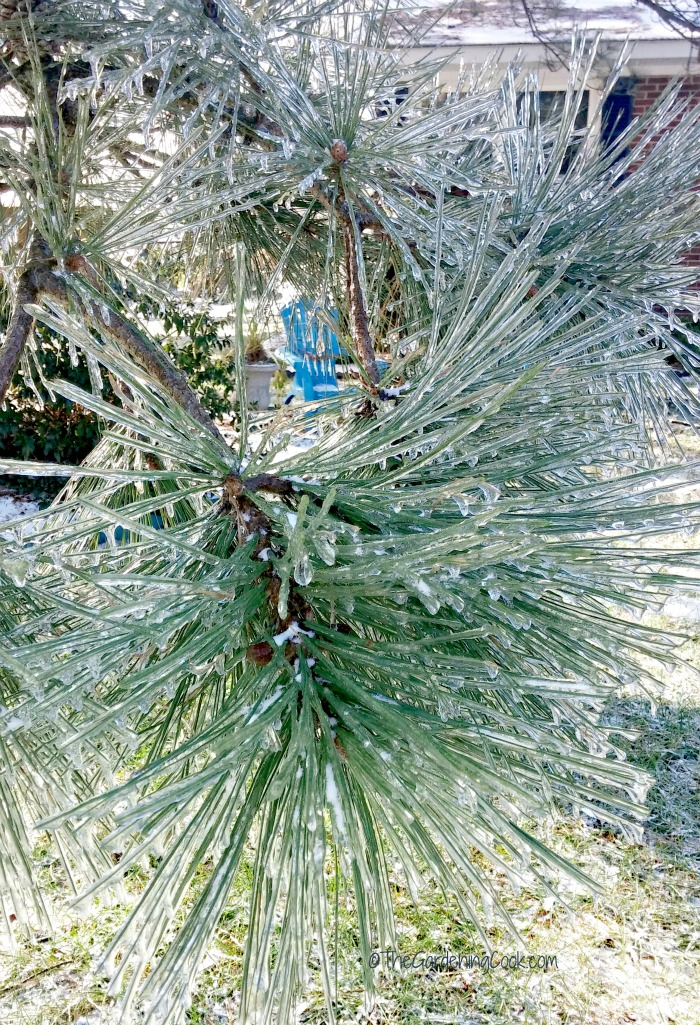 I can see a hint of spring peeking through the iced pine tree!