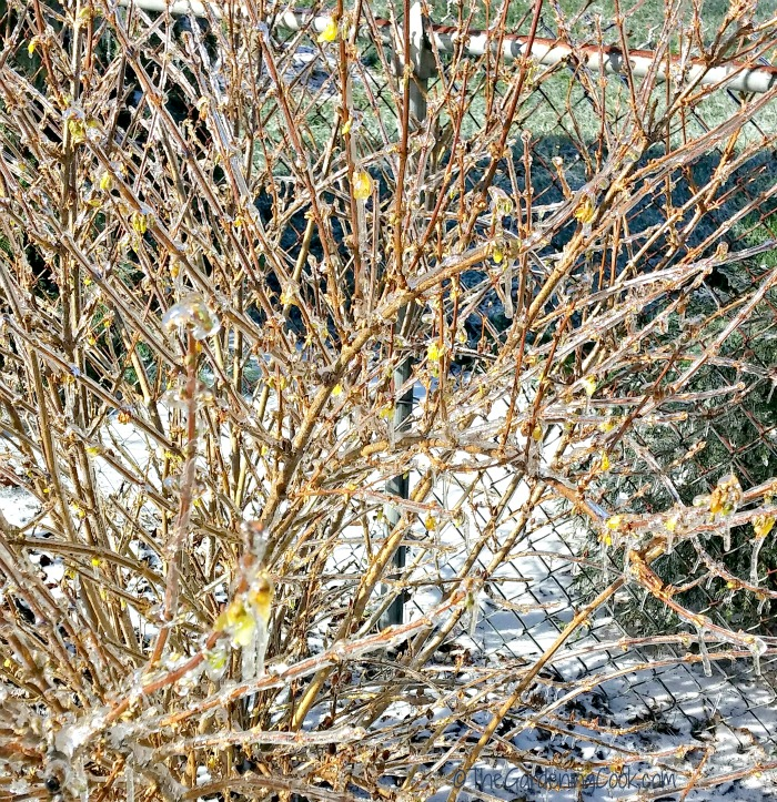 close up of iced over forsythia perennial