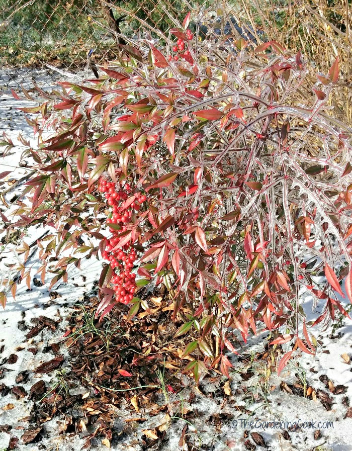 Nandina, (Heavenly Bamboo) in the winter in North Carolina