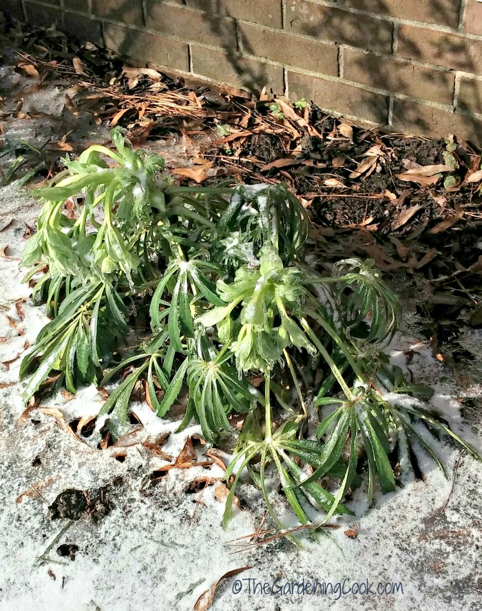 Upright helleborus in the snow in North Carolina