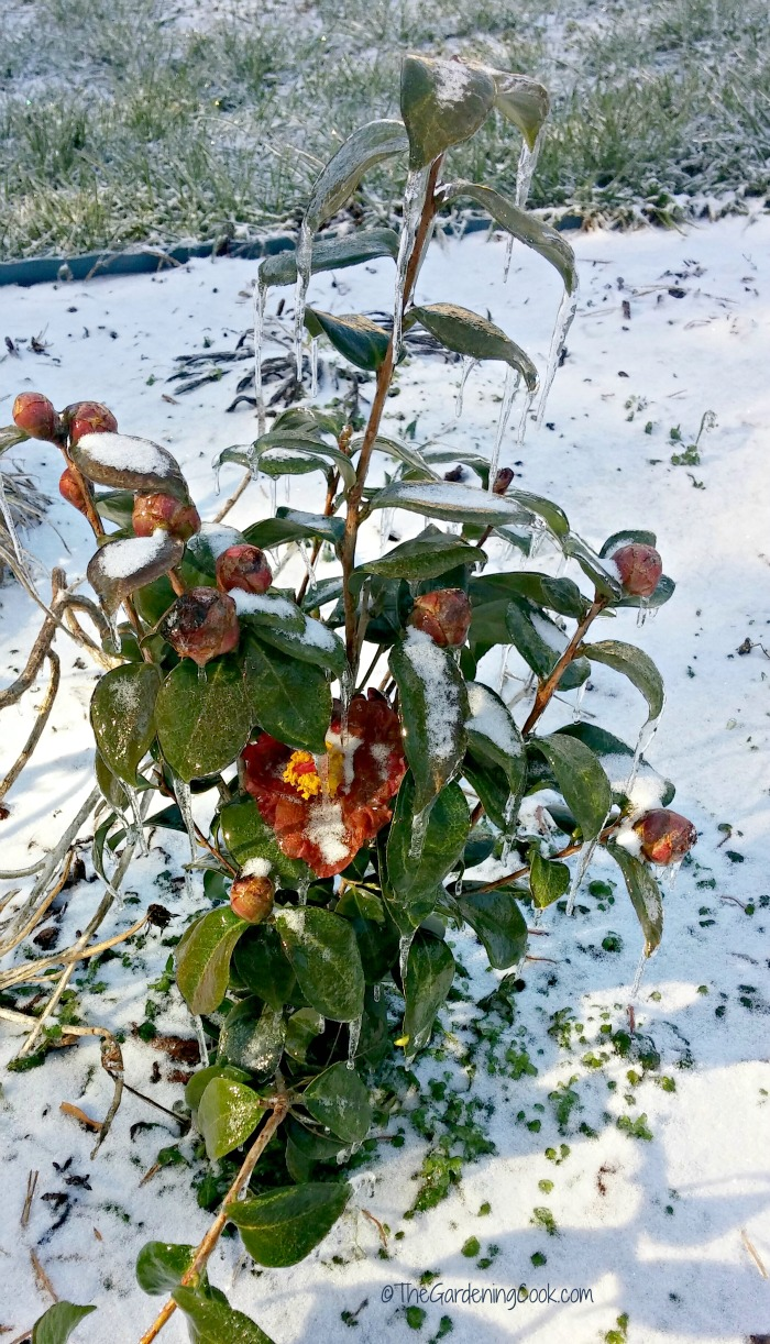 Iced over red camellia in North Carolina