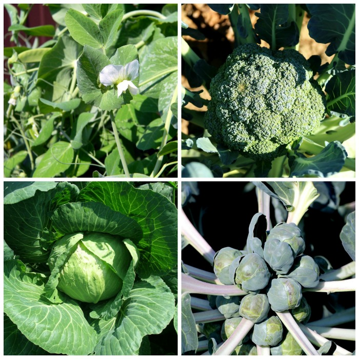 Plant cool loving vegetables in early spring