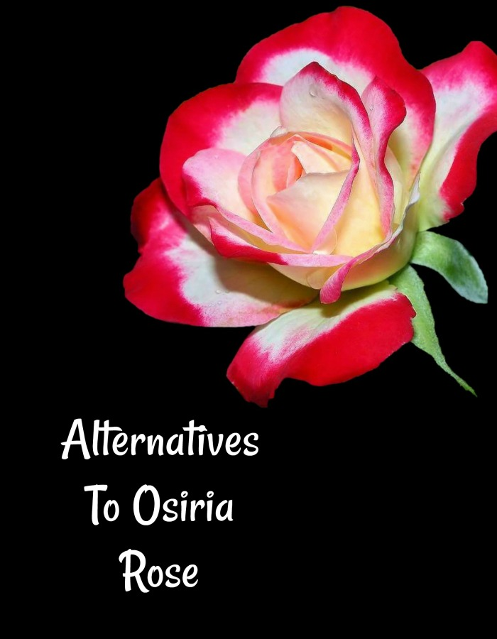 Easier growing alternatives to Osiria rose