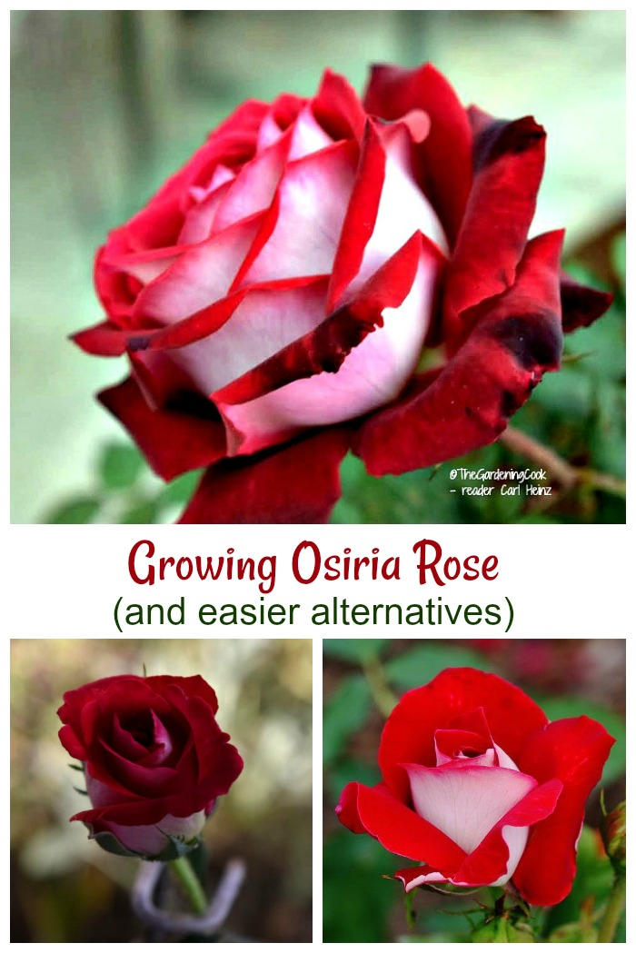 These Osiria rose care tips will help you grow the finicky rose and also give some alternatives.