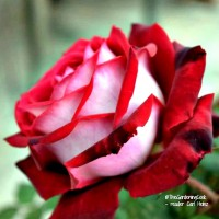 Osiria roses are heavily photo shopped on the internet. This rose is a photo from one of my readers and shows the actual color. See my tips for Osiria Rose care. the gardeningcook.com