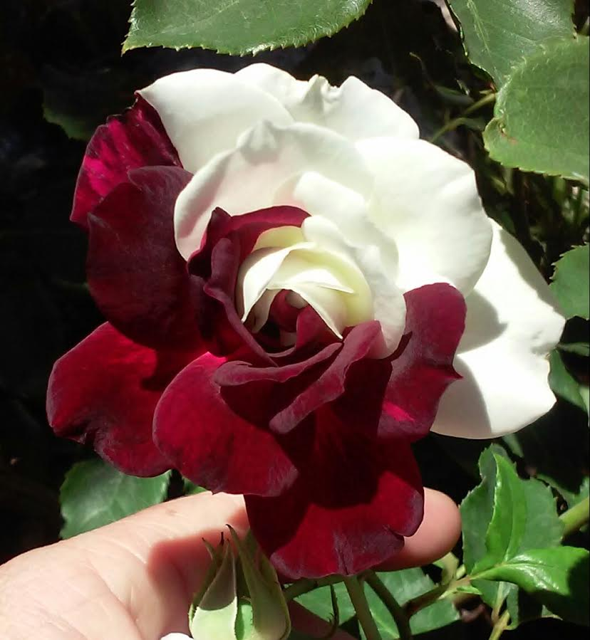 Osiria Blood Rose flower grown by one of my readers.