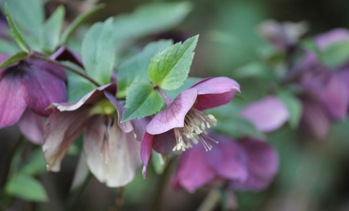 Christmas rose is also known as Helleborus.